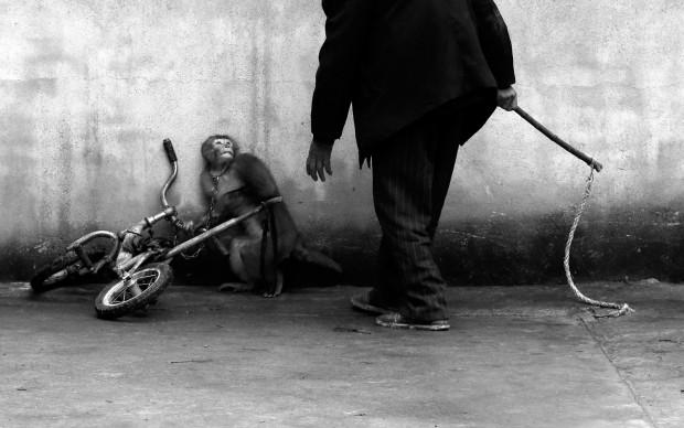 Yongzhi Chu, Una scimmia durante il suo addestramento all'interno di un circo, Cina