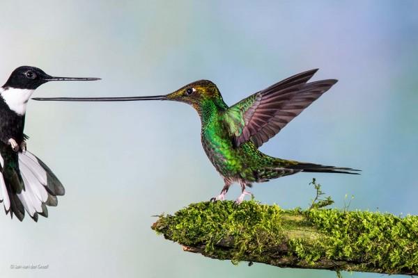 Jan van der Greef, Olanda - Touché. Finalista categoria Volatili, Wildlife Photographer of the Year 2014