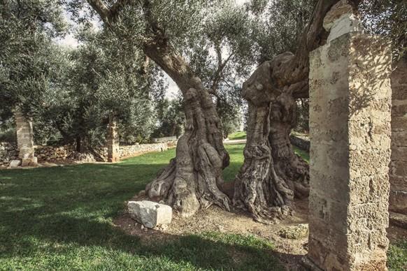 Ulivo millenario a Borgo San Marco, Fasano, Puglia. Ph. Carlos Solito