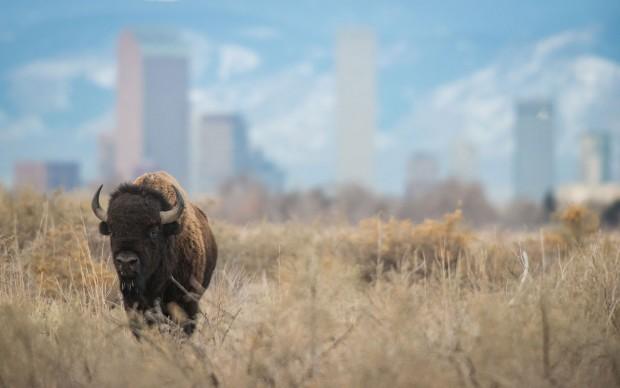Dawn Wilson, Bisonte davanti allo skyline di Denver, Colorado