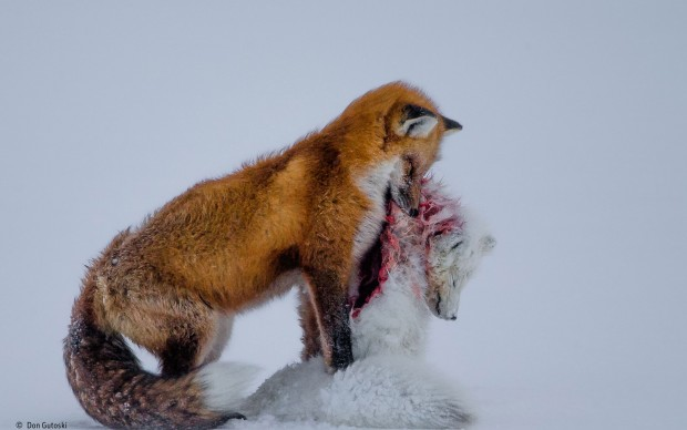 Wildlife Photographer of the Year 2015 Grand title winner Winner 2015 Mammals Don Gutoski, Canada A tale of two foxes