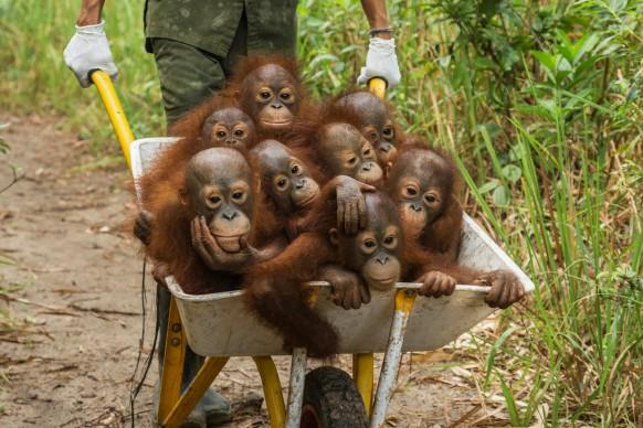 © Tim Laman - Tough Times for Orangutans, World Press Photo 2016