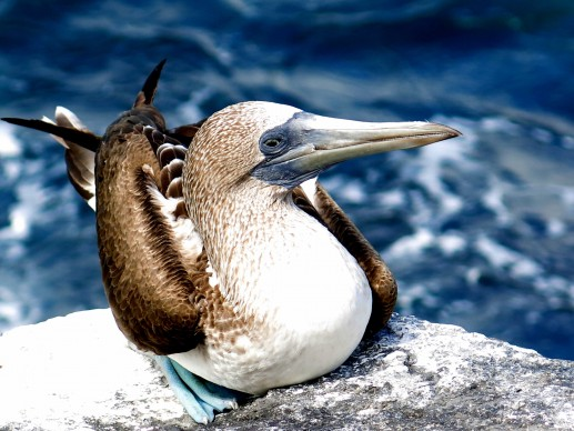 © Gabriele Merlo BLUE FOOTED, Galapagos
