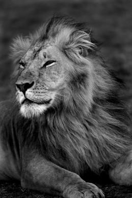 Lion Portrait I, Kenya 2011 © Christian Cravo