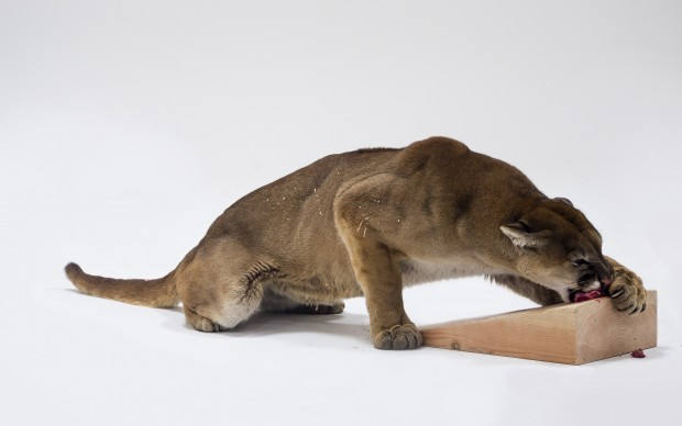 Photographic study for Mountain Lion Attacking a Dog © Charles Ray Photograph by Joshua White