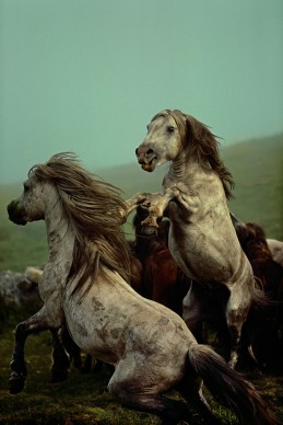 Wild horse roundup. 1977. Galicia, Spain © Credits: David Alan Harvey