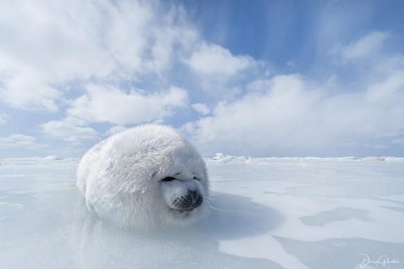 Daisy Gilardini,Cucciolo di foca della sella, Isole della Maddalena, Canada