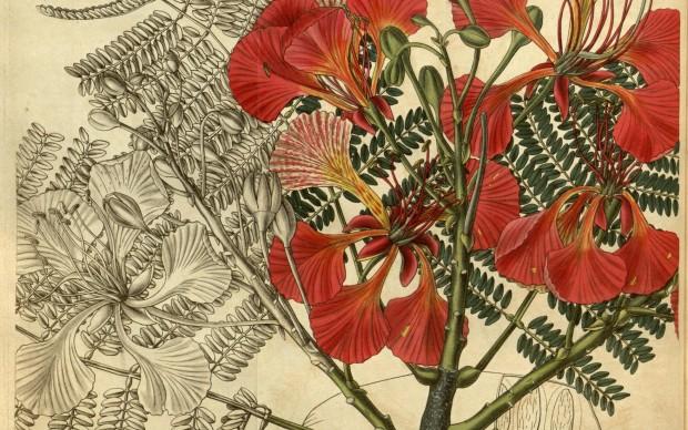 Curtis's botanical magazine.. London ; New York [etc.] :Academic Press [etc.].