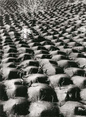 Fulvio Roiter, Coltivazione della vite, Etna 1953 © Archivio Storico Circolo Fotografico La Gondola Venezia