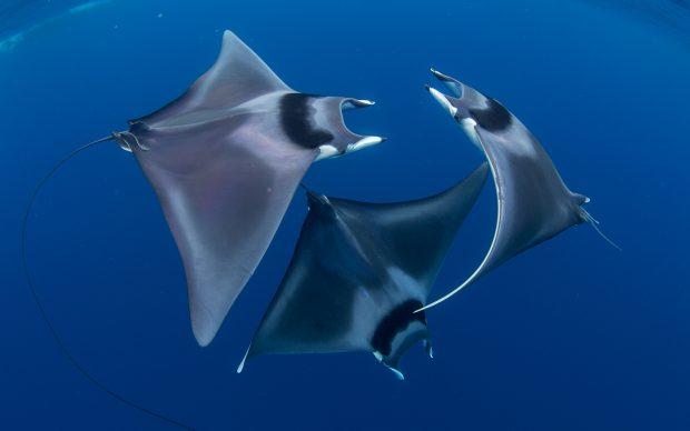 Duncan-Murrell-Devil-Ray-Ballett-Ocean-Art-Competition