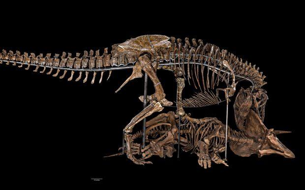 Tyrannosaurus rex and Triceratops horridus Panoramic