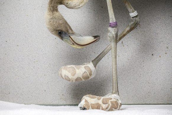 """Jasper Doest, Un fenicottero caraibico prende visione delle """"calze"""" improvvisate create per lui da un veterinario. Nature - Single - Shortlisted"""