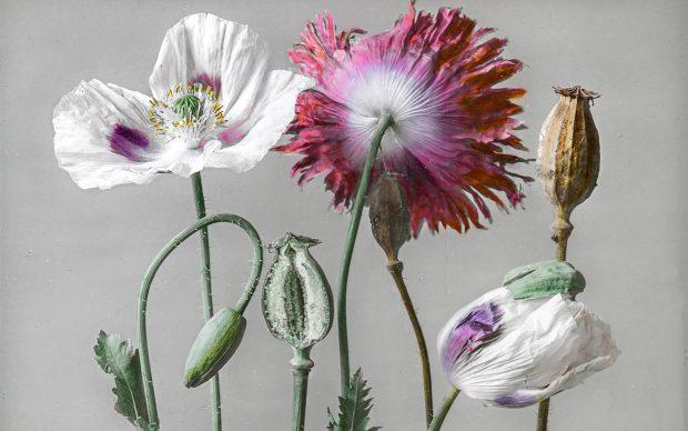 Josef Hanel (1865-1940) Papaver somniferum Papavero domestico / Schlaf-Mohn Museo botanico dell'Università di Zurigo Botanisches Museum der Universität Zürich © Botanisches Museum der Universität Zürich