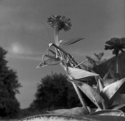 Larry Fink, Mantis, September, 1978 © Larry Fink