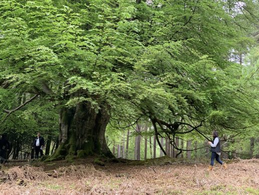 Ancient tree in New Forest. Courtesy New Forest National Park Authority