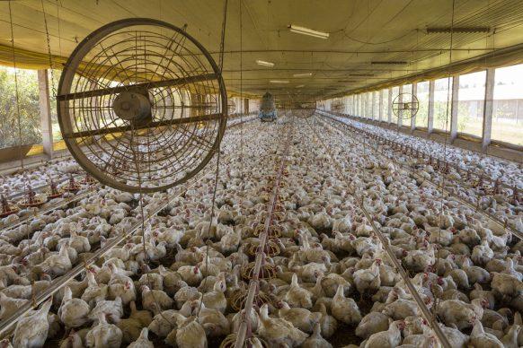 L'allevamento di pollame della Seara Foods vicino Sidrolandia, stato del Mato Grosso do Sul, Brasile, 2013 © George Steinmetz