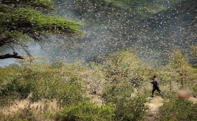 Un agricoltore che tenta di scacciare uno sciame di locuste del deserto dalle sue coltivazioni di qât nei pressi di Giggiga, Etiopia, 2020 © Reuters : Giulia Paravicini