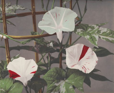 Kazumasa Ogawa, Morning Glory from 'Some Japanese Flowers' ca. 1894. Photo copyright Dulwich Picture Gallery