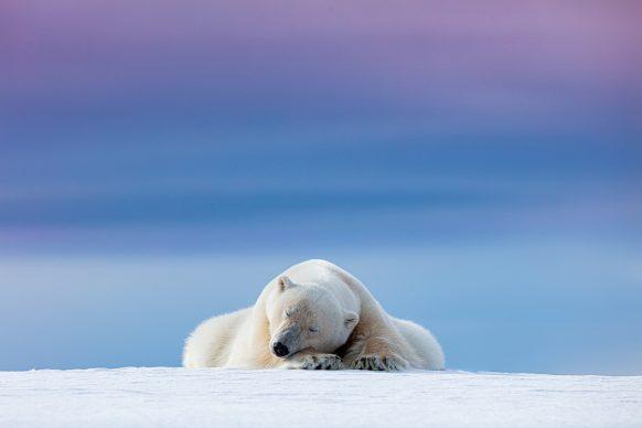 Dennis Stogsdill, Sleepy Polar Bear © Dennis Stogsdill / Nature TTL