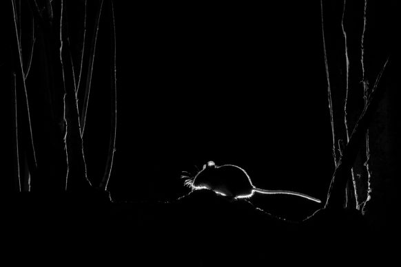 John Formstone, Silhouetted Wood Mouse © John Formstone / Nature TTL